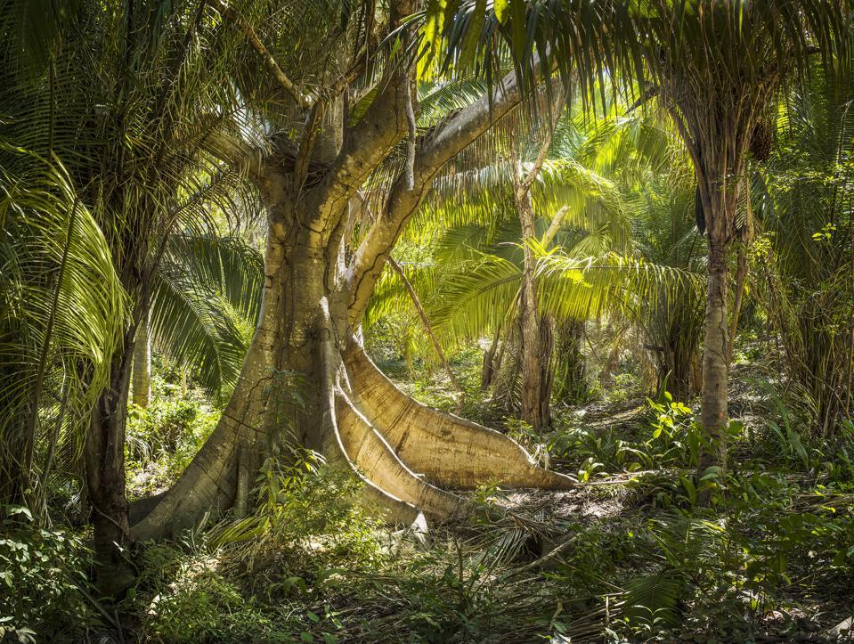Mandarina's ancient jungle trees
