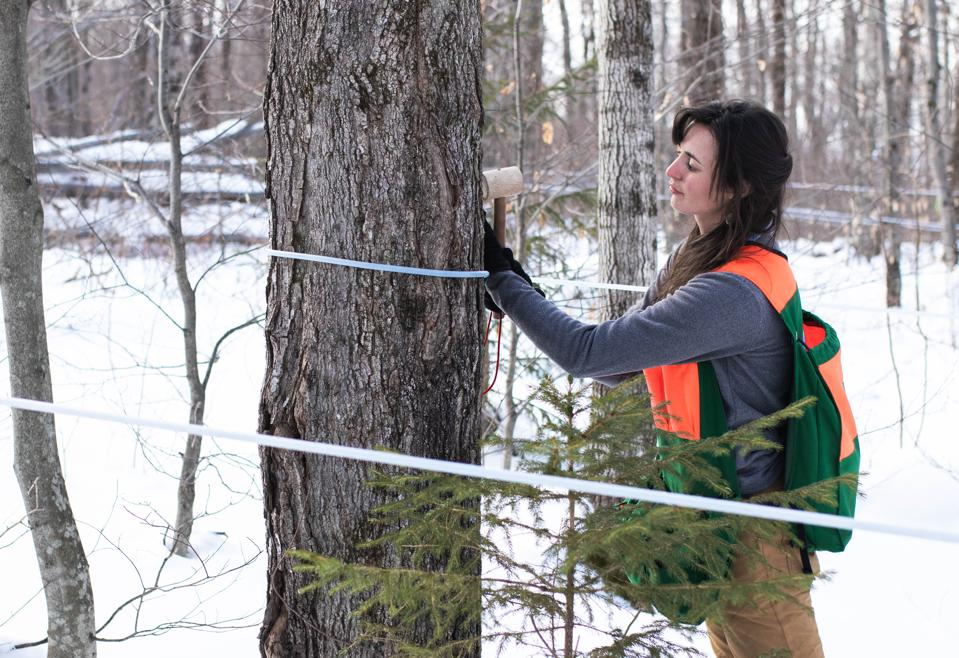 Woman tapping maple tree for syrup.