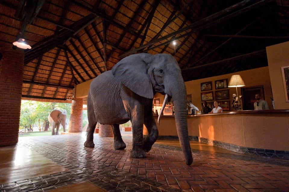 Elephants in reception at Mfwue lodge sustainable lodge africa