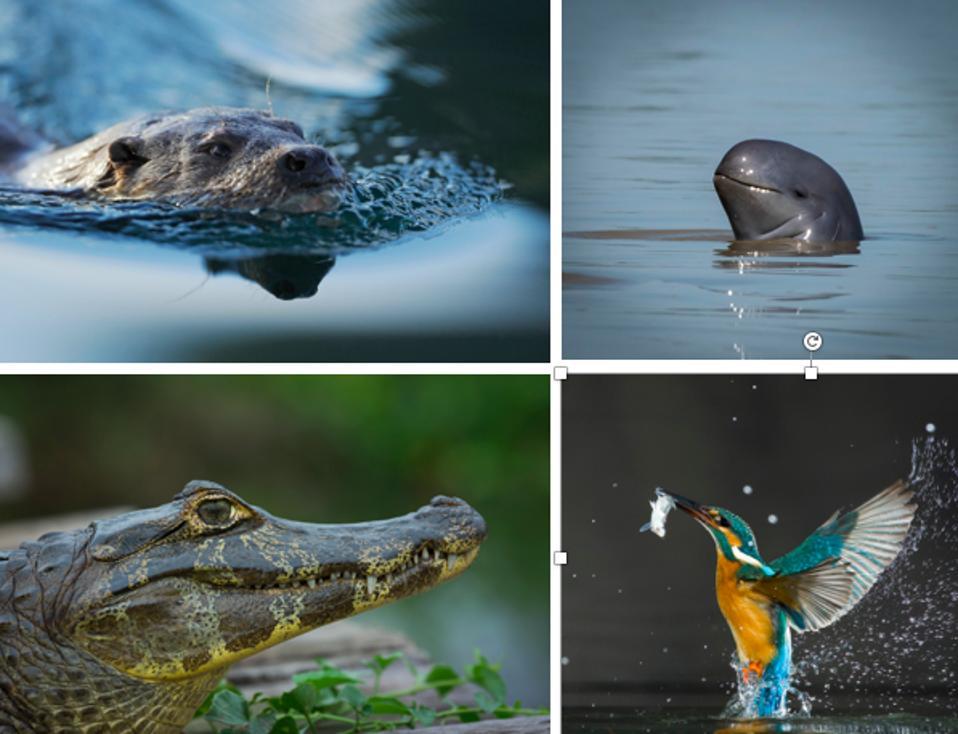 Four FW species