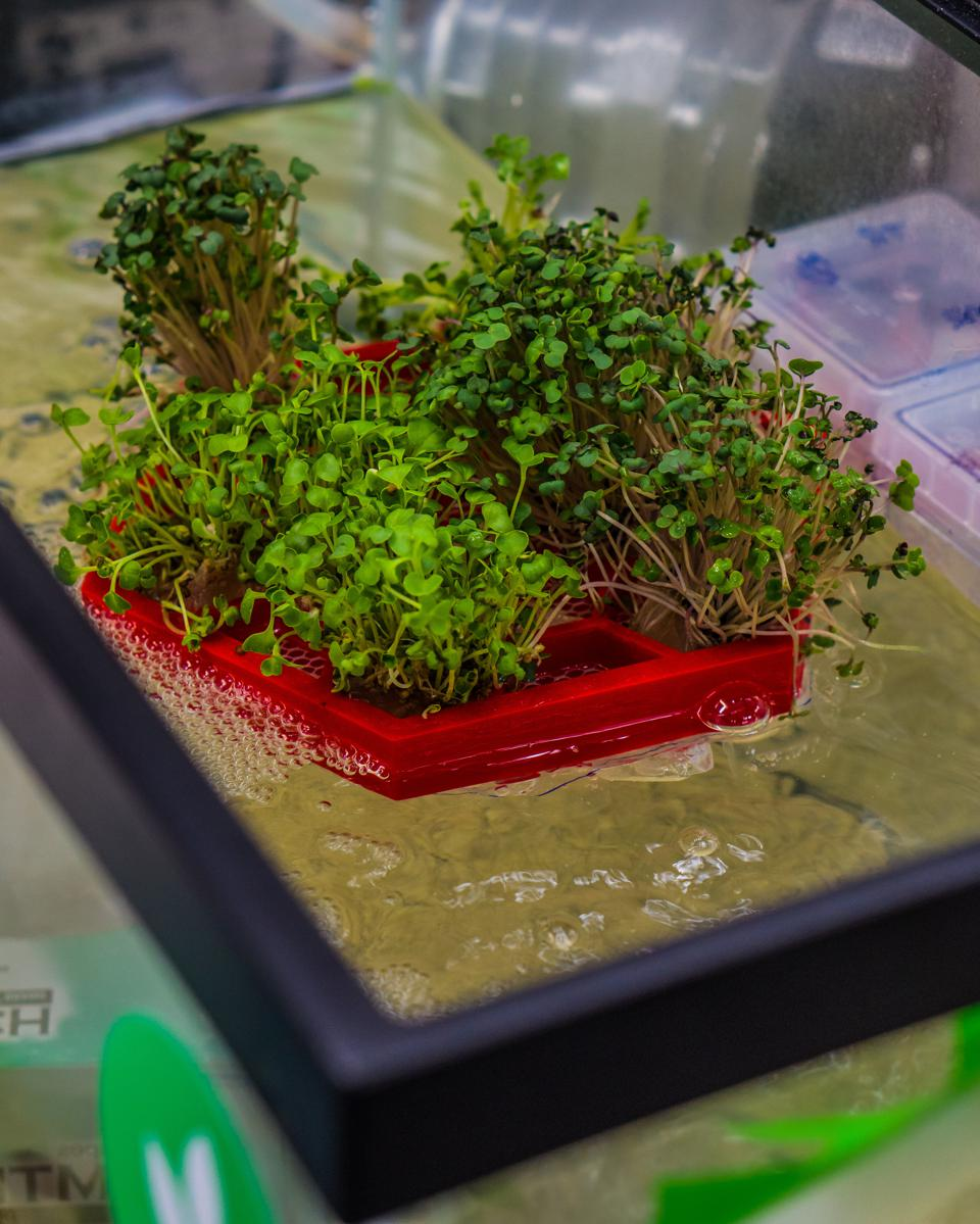 Hydroponics, seedlings in trays with roots in the water, agriculture.