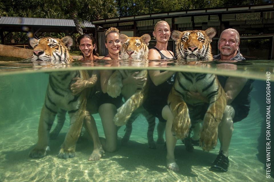 Captive tigers posing with paying guests