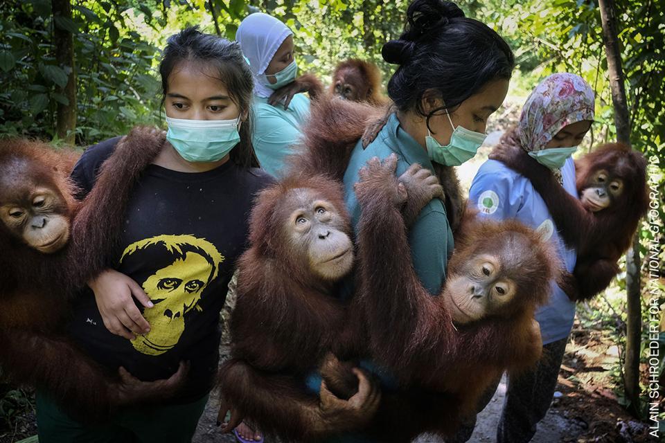 Endangered Orangutans in Indonesia