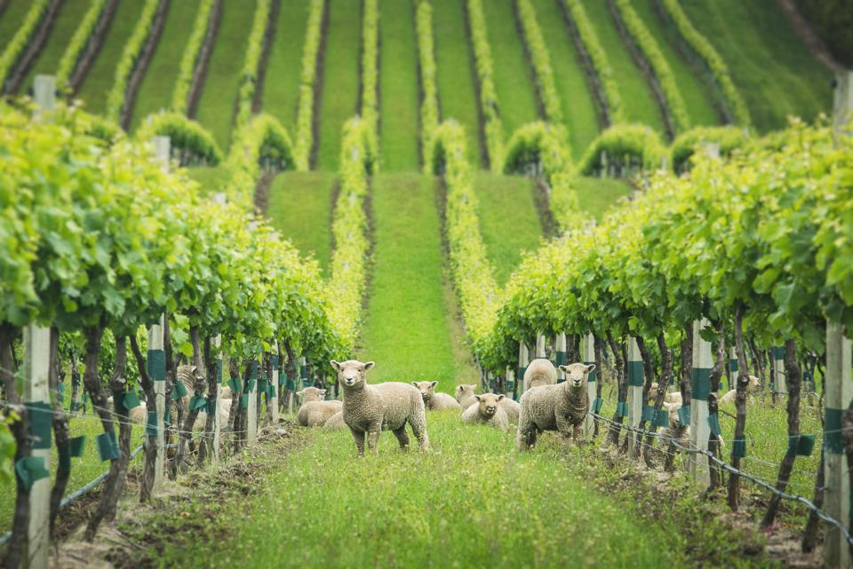 Babydoll Sheep in Yealands Seaview Vineyard
