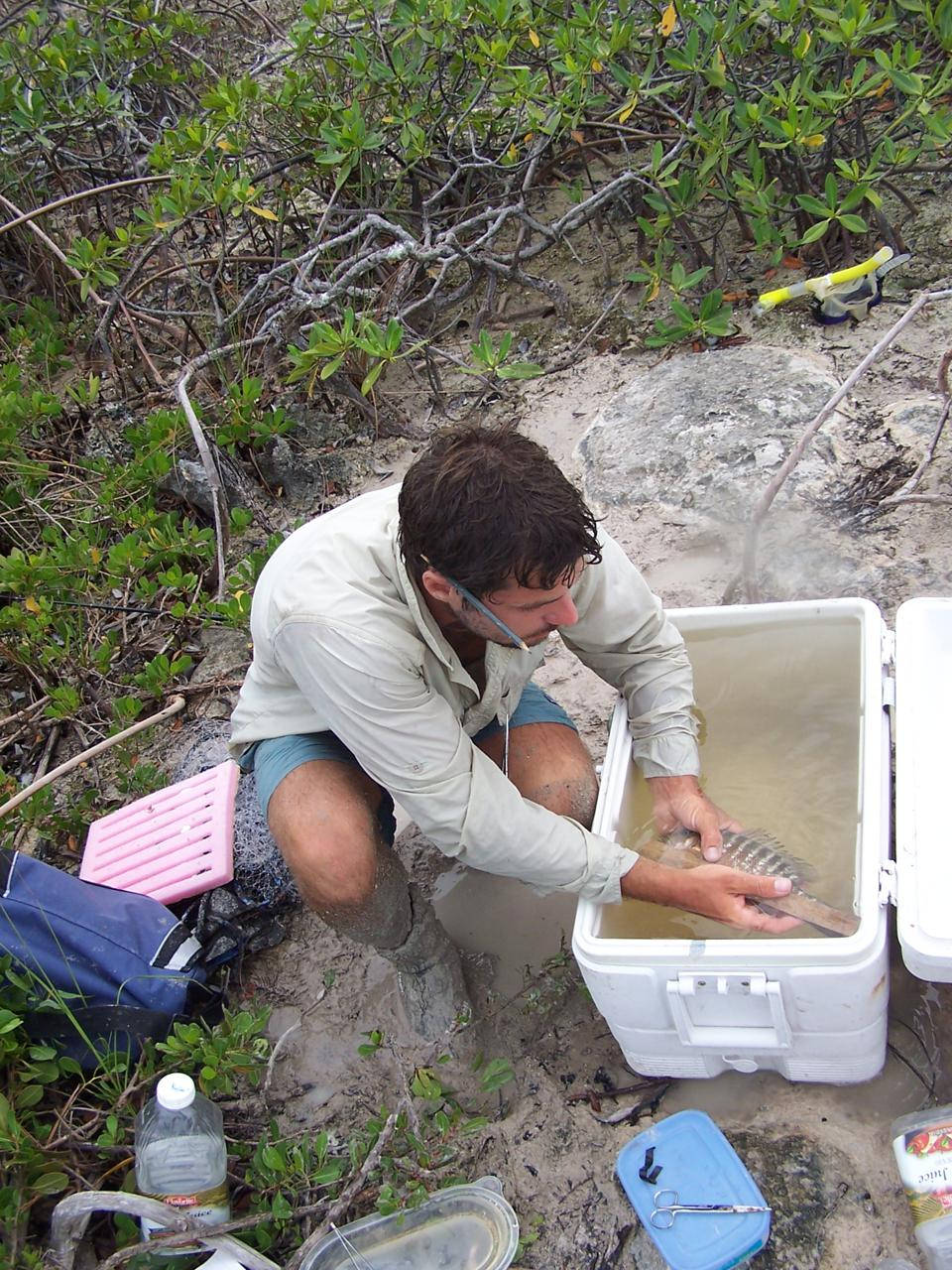 Researcher measuring a gray snapper in a mangrove