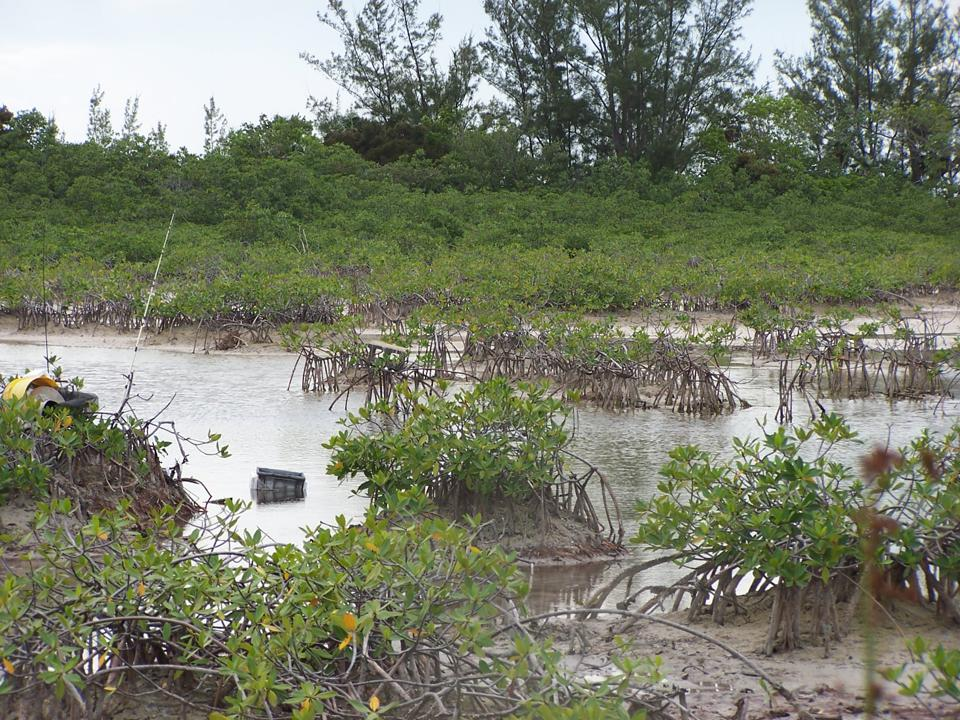 Mangroves with lots of roots holding sediment within during a low tide in the Bahamas.