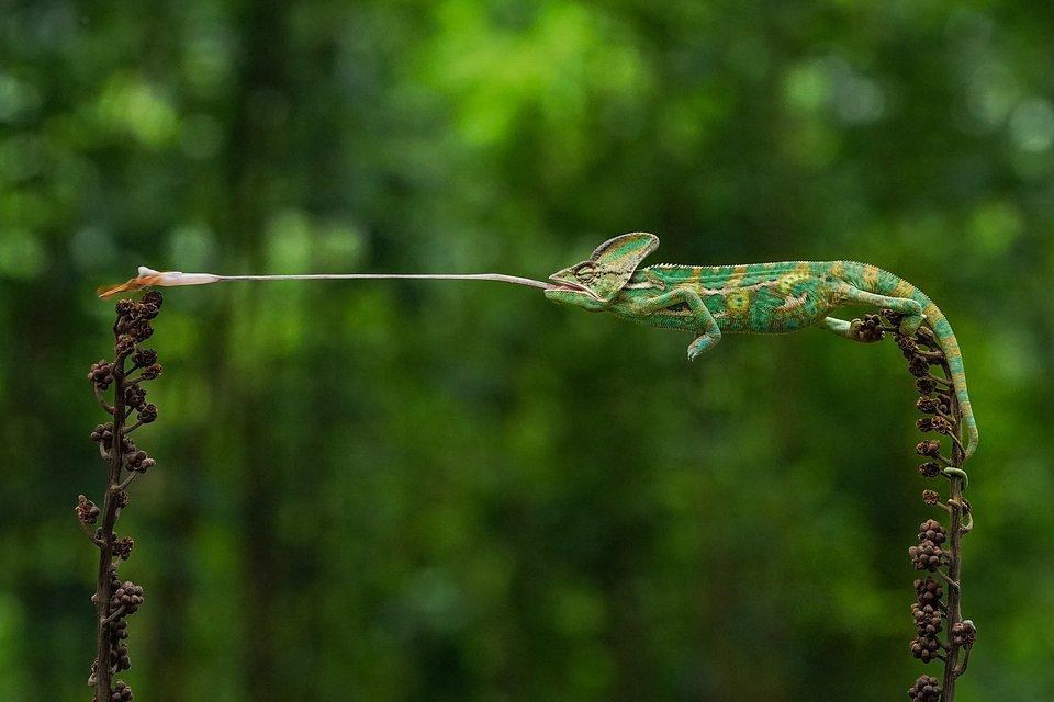 chameleon eating dragonfly