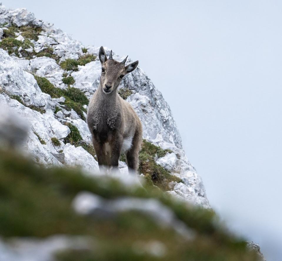 Little goat in the Italian Alps