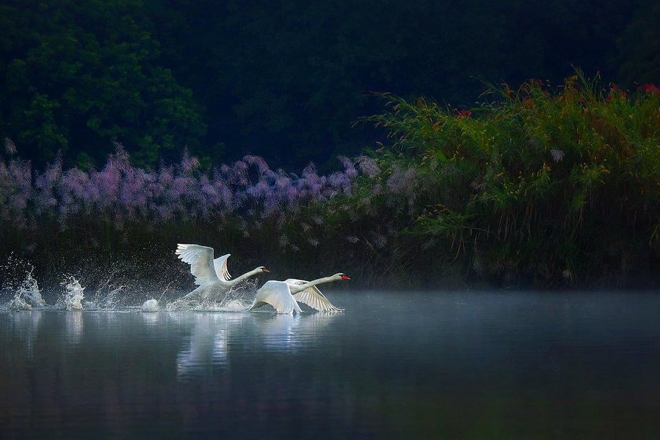 Myanmar swans