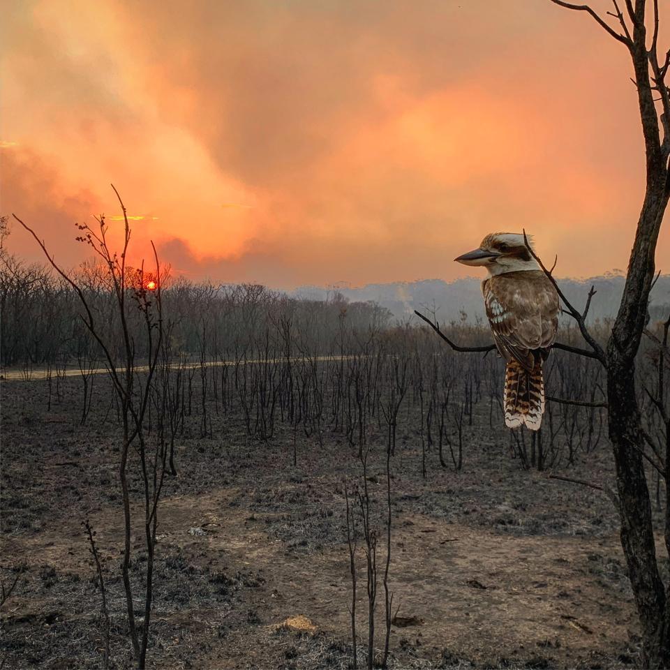 A mockingbird observes the fires in Australia.