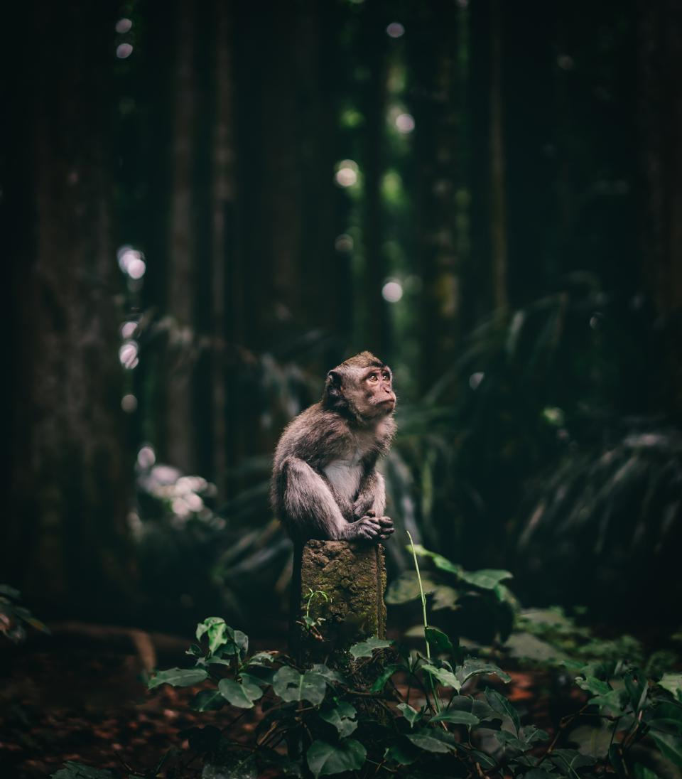 Pensive monkey in Indonesia