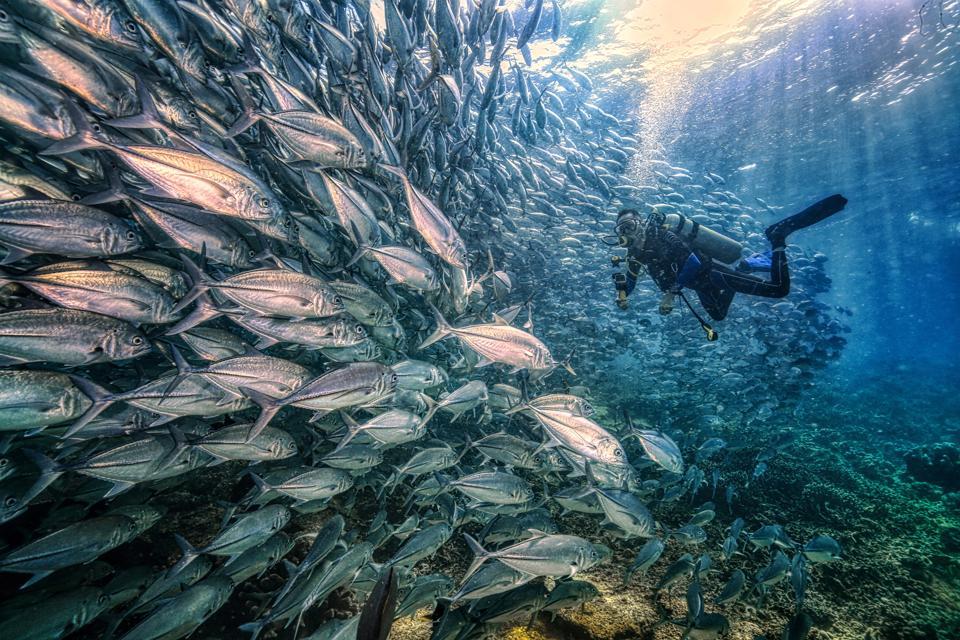 School of Jackfishes meet diver