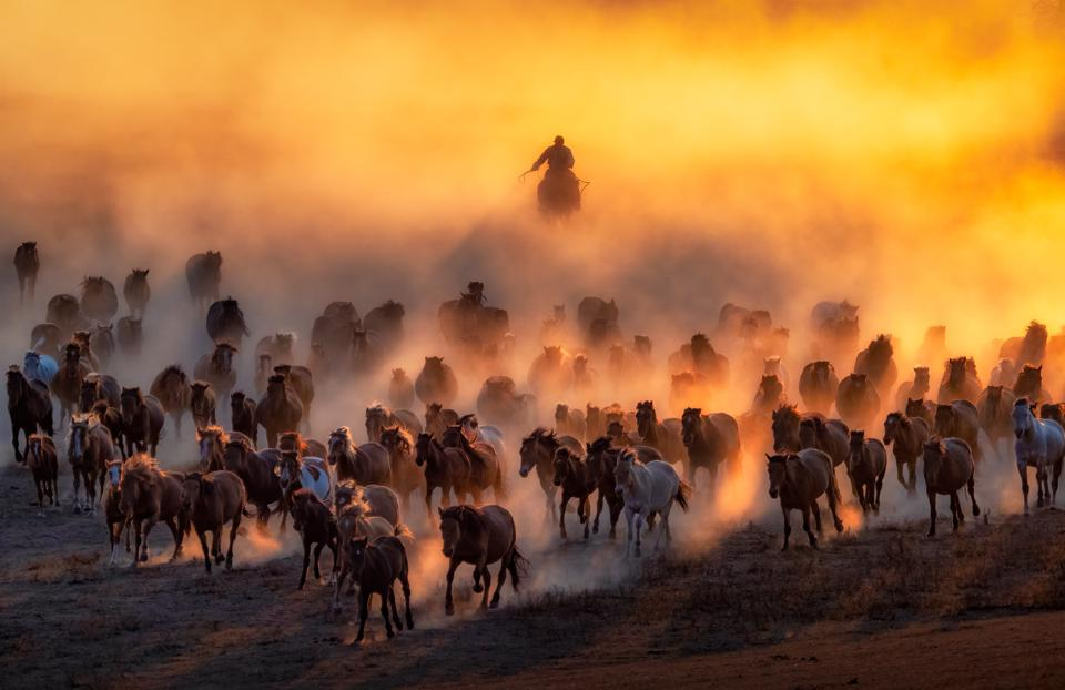Hundred of horses galloping in Mongolia