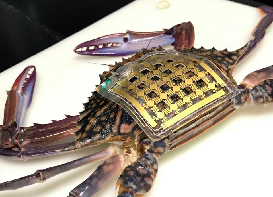 Crab with sensor attached for research in marine science