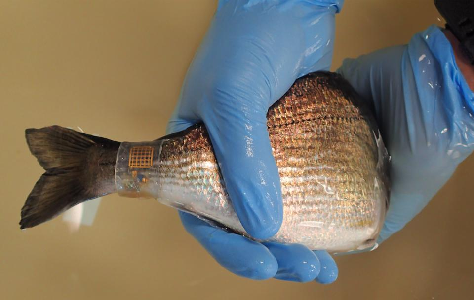 A fish wearing the Bluefin technology, a stretchable silicon band wrapped around the tail contains a sensor and is non-invasive to the fish.