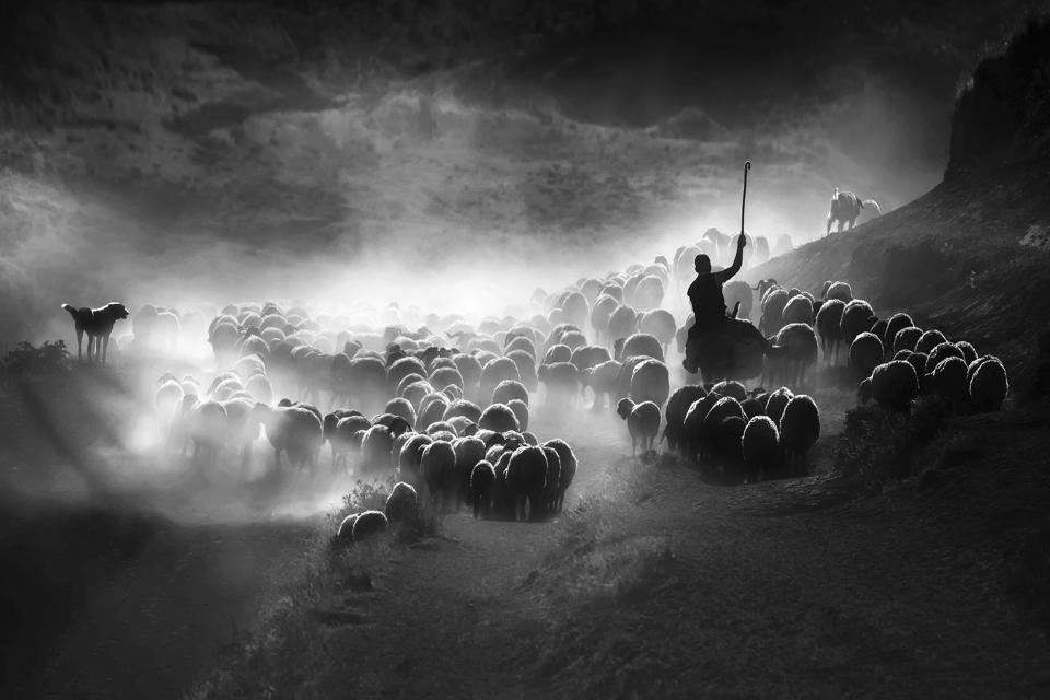 Sheep herding in Turkey