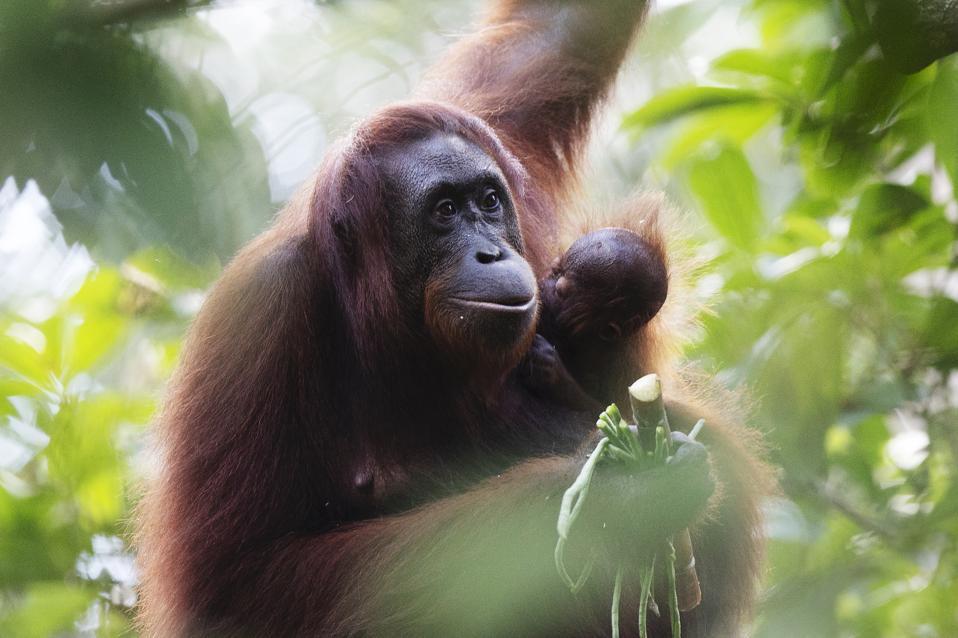 Sepilok Orangutan Rehabilitation Centre Borneo.