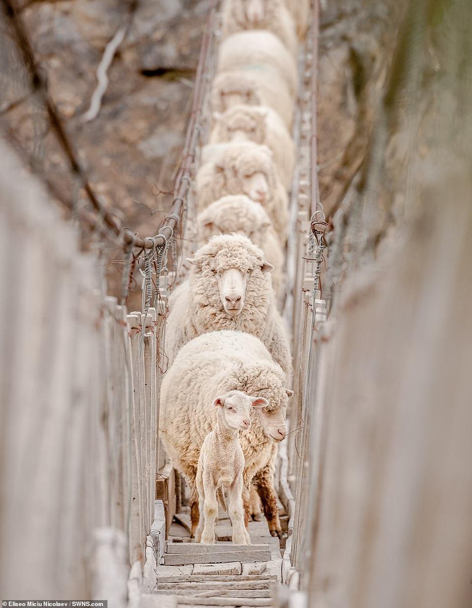 little lamb followed by a herd crossing rickety bridge