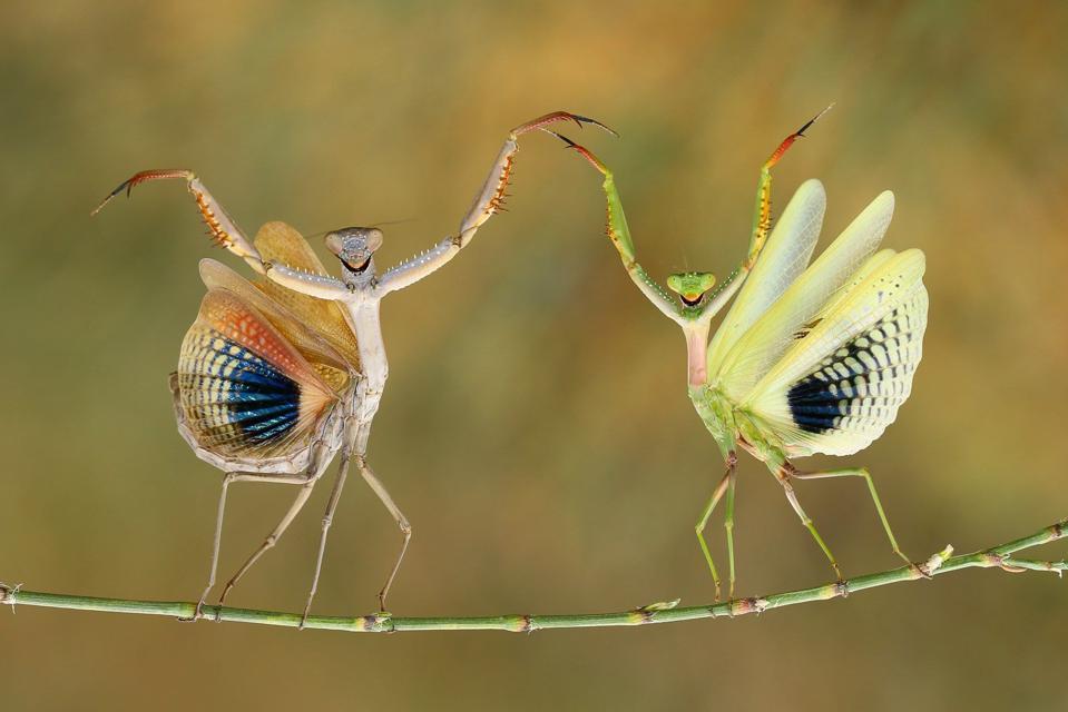 Amusing dancing praying mantises