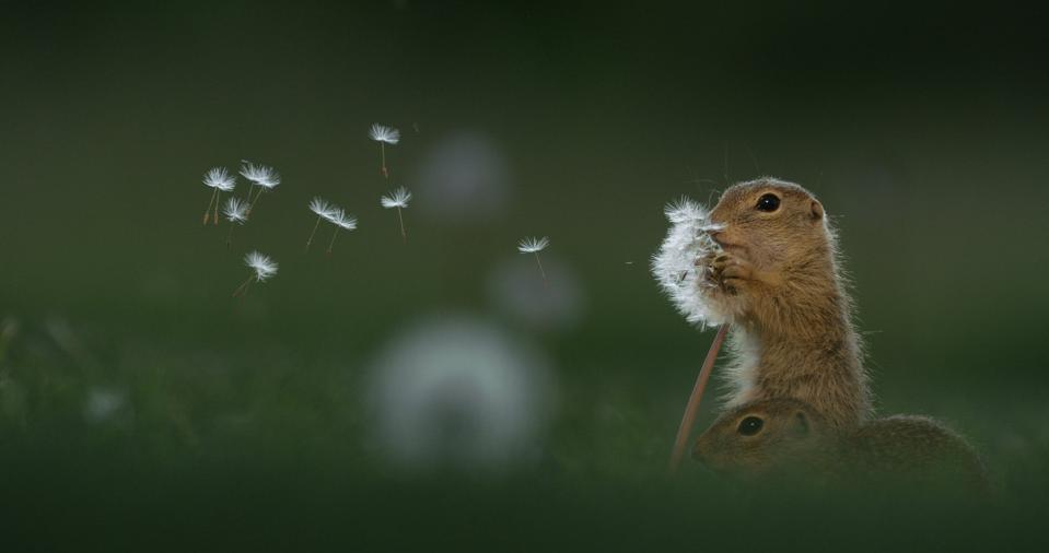 ground squirrel nibbling on a dandelion stalk