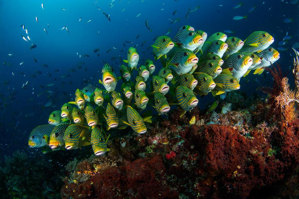 A colorful school of Sweetlips fish above coral reef in Indonesia