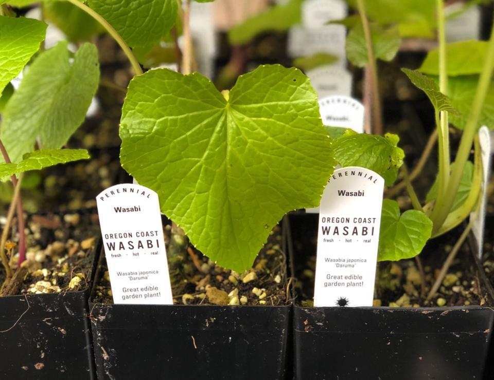 Wasabi starter plants from Oregon Coast Wasabi