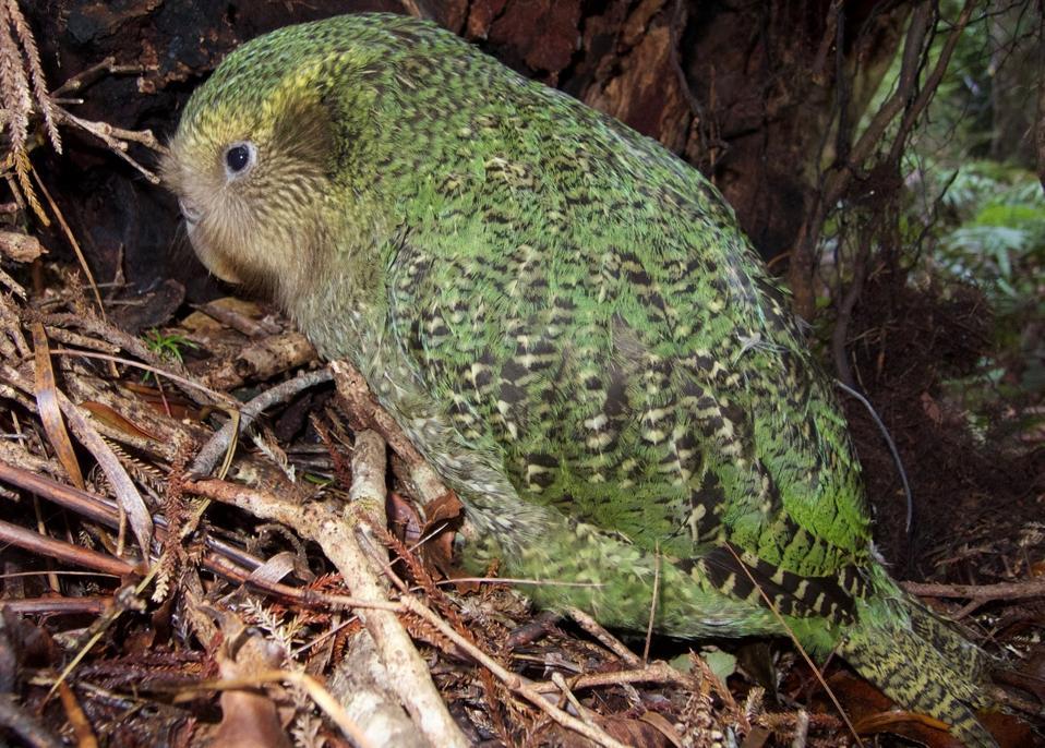 KakapoAndrewDigby