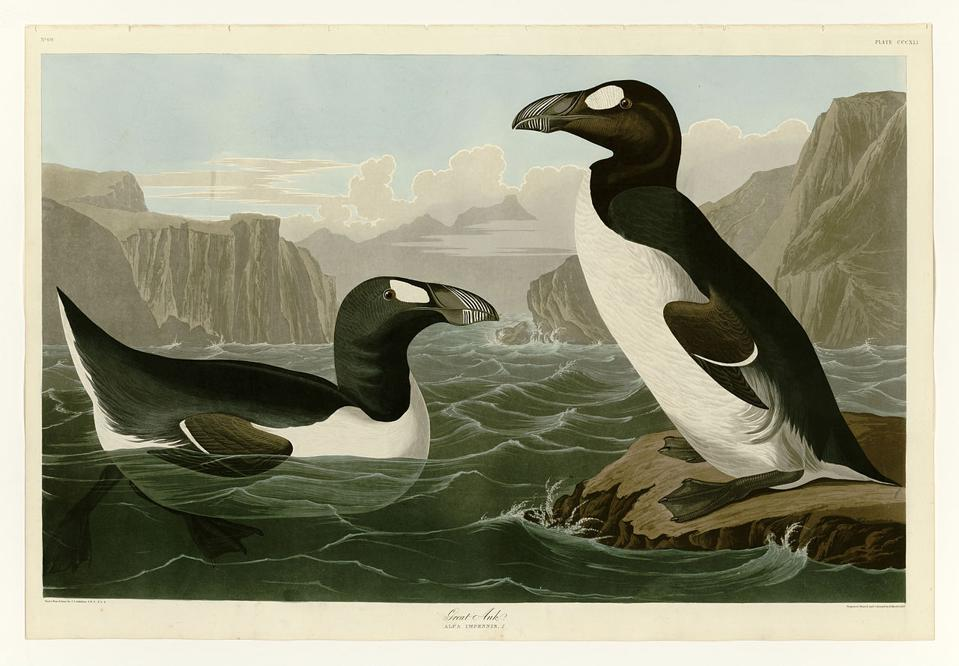 Great_Auk_JohnJamesAudubonPlate341BirdsOfAmerica