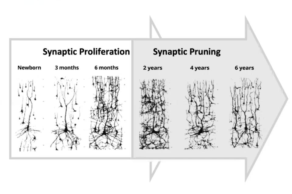 Synaptic Pruning