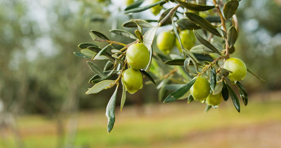 The olive groves of southern Italy