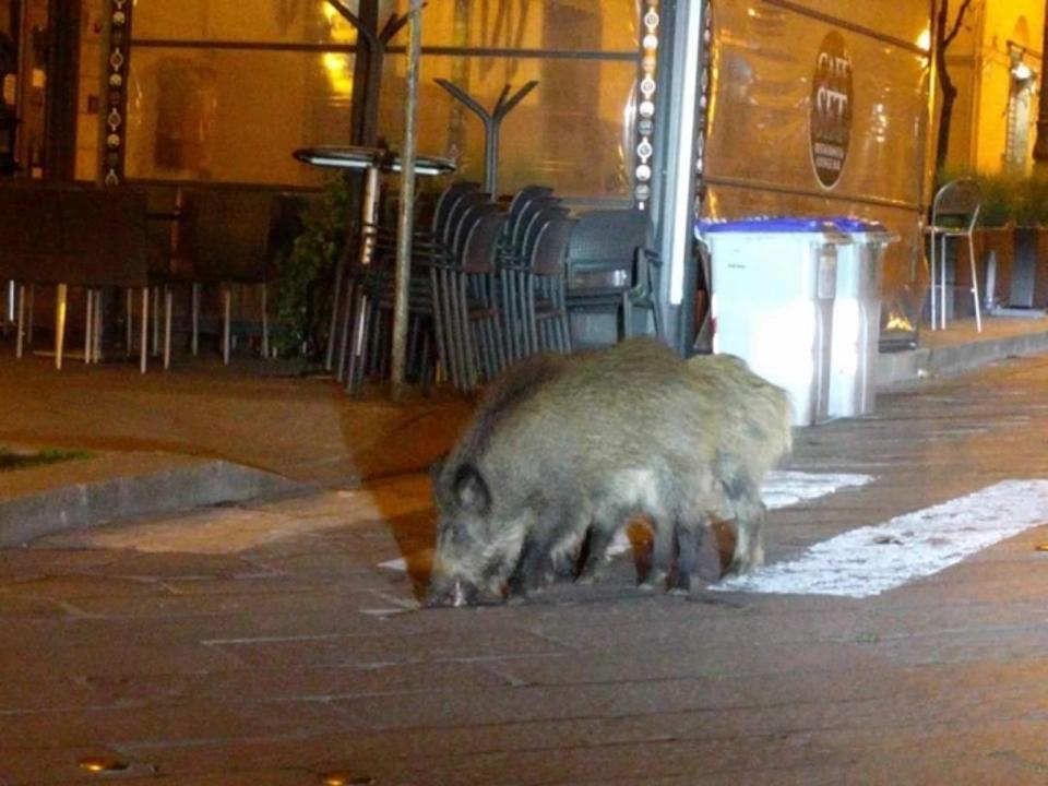 Wild boars roaming the streets of Sassari, Sardinia.