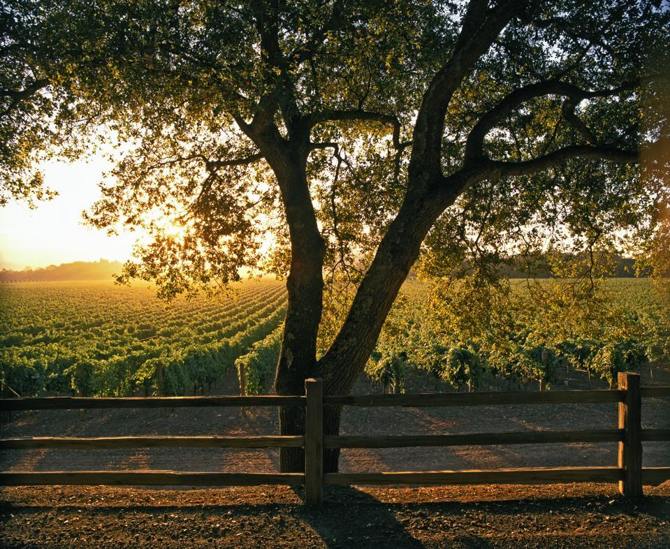 beauty trends Oakville vineyard, Napa Valley, California