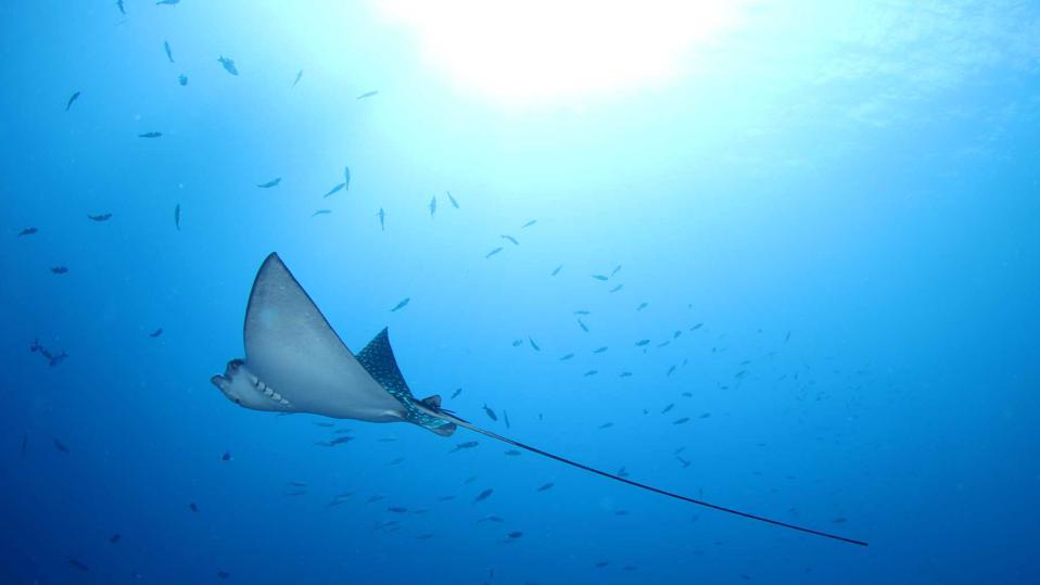 An Eagle Ray swims in the turquoise waters of Curacao
