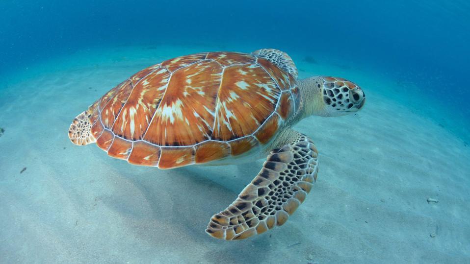 Green Turtle, Curacao