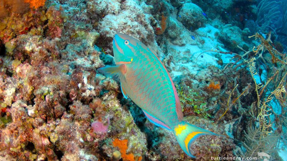 Parrofish, Curacao