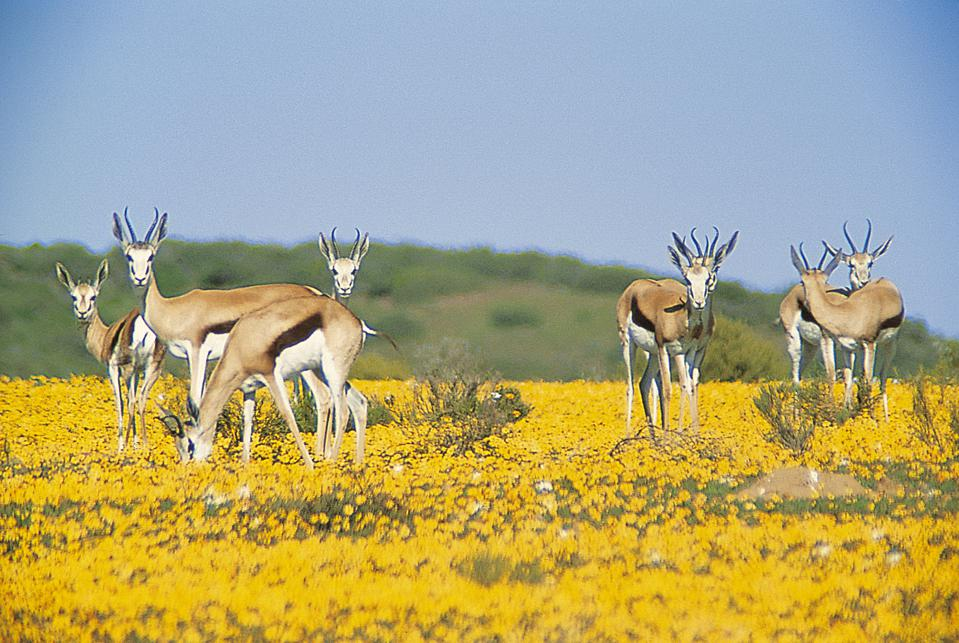 Bushmans Kloof grounds are home to a wide variety of animals including herds of bontebok (seen here).