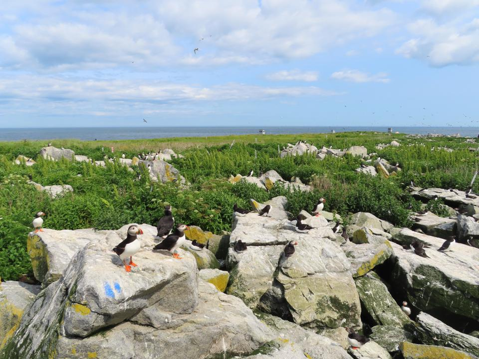 Puffin Colony on Machias Seal Island