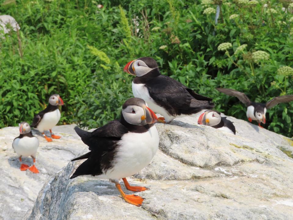 A puffin gathering, Machias Seal Island