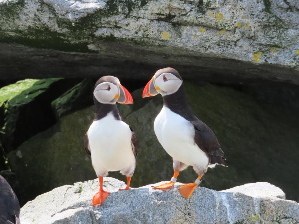 Puffin Couple, Machias Seal Island