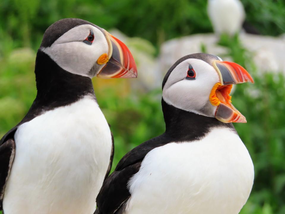 Puffin Pair, Machias Seal Island