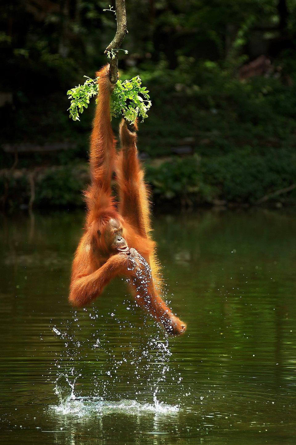 Orangutan drinking water while hanging from tree.