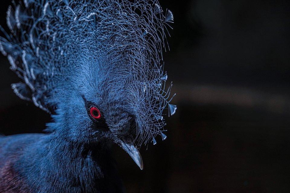 A blue Gura bird from Spain
