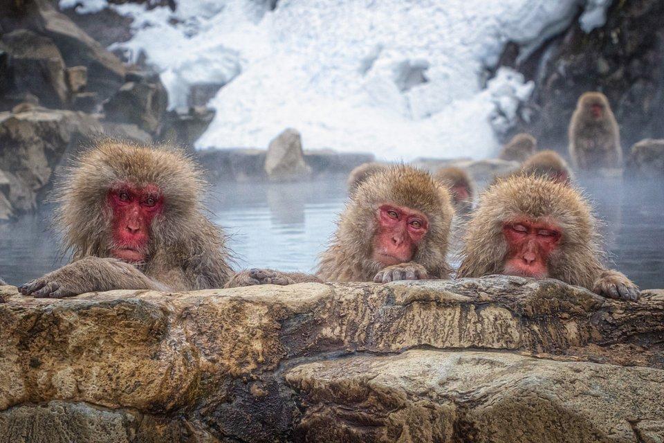 red faced monkeys bathing in hot spring lake