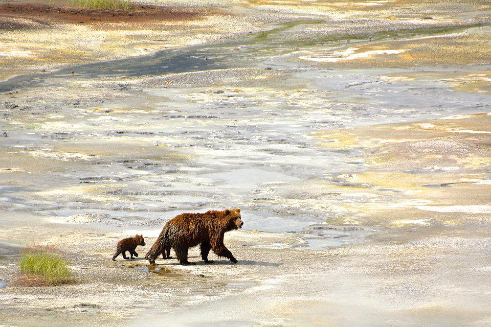 A mother bear with two cubs