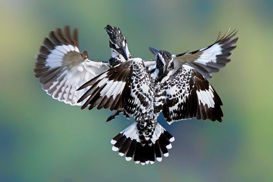 Kingfisher birds fighting in the air