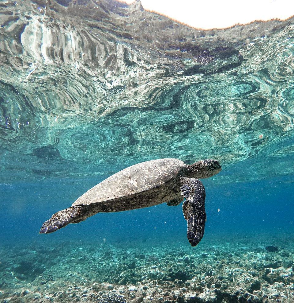 turtle swimming in Kauai