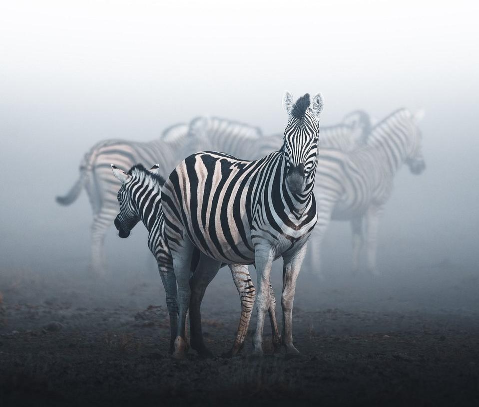 Zebras in the mist.
