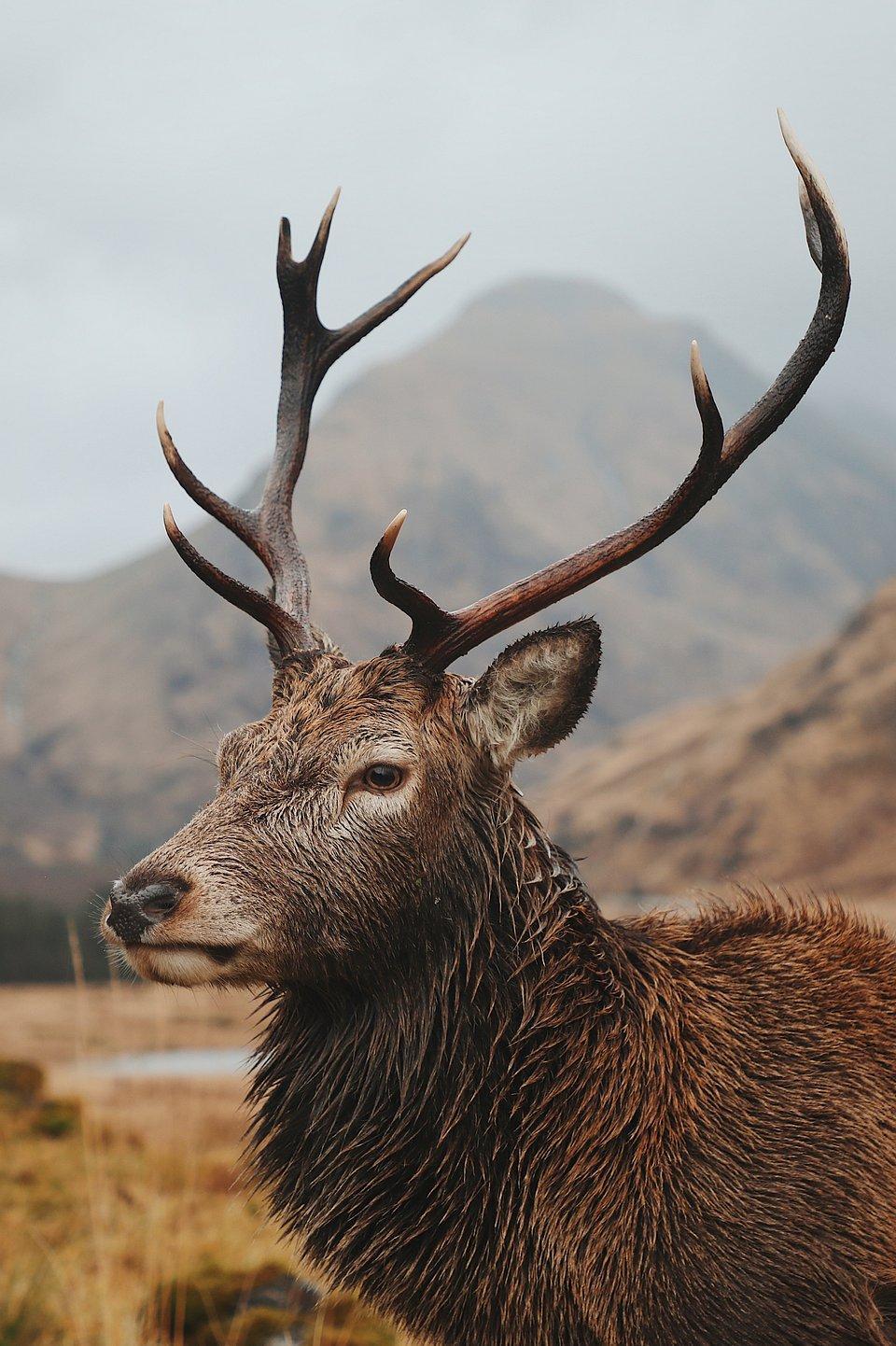 Wild stag in Scotland