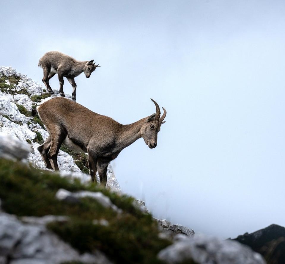 wild goats in the Italian Alps