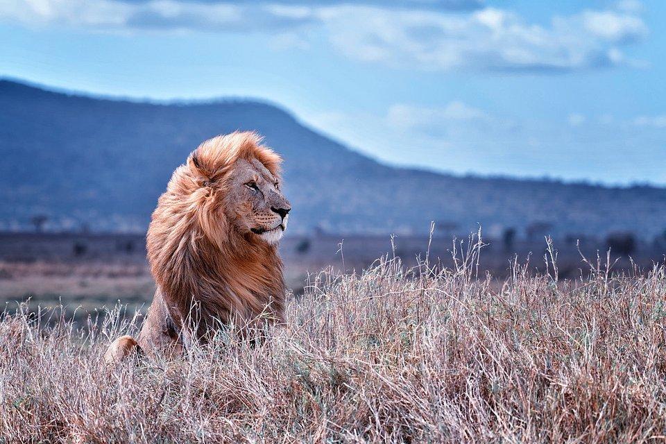 Lion in the wild, Serengeti, Tanzania